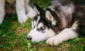picture of eskimos  - Sad Young Husky Puppy Eskimo Dog Lying In Grass Outdoor - JPG