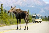 picture of denali national park  - A Moose blocks a bus in Denali National Park