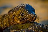 pic of sea lion  - baby sea lion at sunset in galapagos islands ecuador - JPG