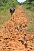stock photo of ostrich plumage  - A flock of Ostrich chicks run after their mom, as seen in the wilds of Namibia, southwestern Africa.