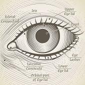 stock photo of human eye  - Vector human eye etching with captions - JPG