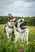foto of border terrier  - gundog - JPG