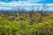 stock photo of naturalist  - Charred frames of shrubs standing in lush regrowth from bushfire overlooking ocean at Cape Naturaliste - JPG