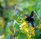 ������, ������: Carpenter Bee Xylocopa In The Nature