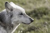 image of lupus  - Desaturated photograph of North American Gray Wolf - JPG