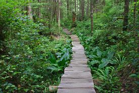 stock photo of canopy  - A cedar, wooden path leads to the unknown under a canopy of old growth forest on the Olympic Peninsula in Washington. Lush foliage and tall trees surround the adventure waiting ahead. ** Note: Shallow depth of field - JPG