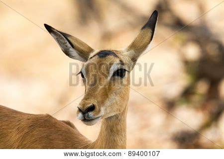 Inquisitive female impala