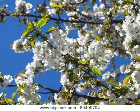white blossoms of cherry tree