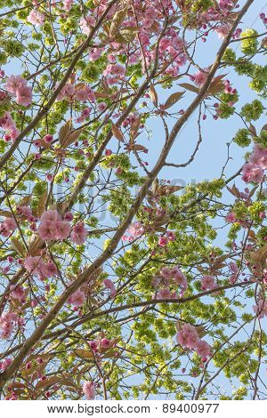 Flowering Cherry Tree Branches Against Sky