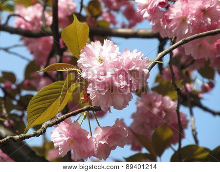 pink blooms of cherry tree