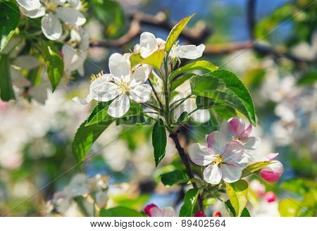 A Blooming Branch Of Apple Tree
