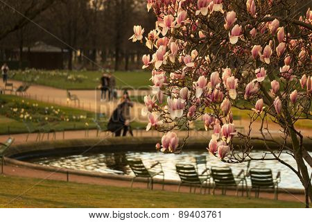 Magnolia Tree In Paris