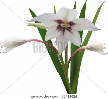 illustration with light flower and buds isolated on white background