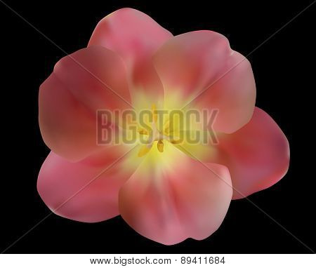 illustration with pink tulip flower isolated on black background