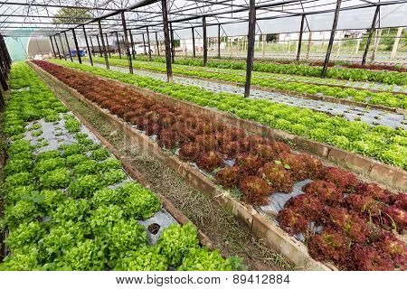 Organic salad field in a tropical vegetable garden