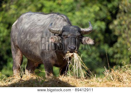 Buffalo eating hay in a tropical meadow