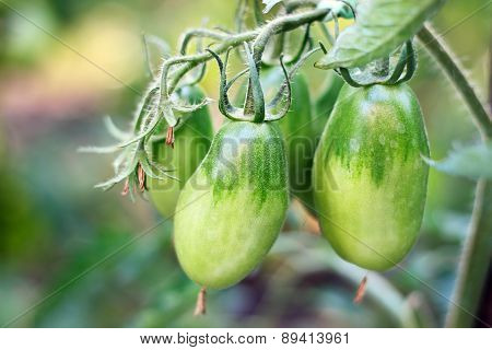 Bunch With Green Tomatoes
