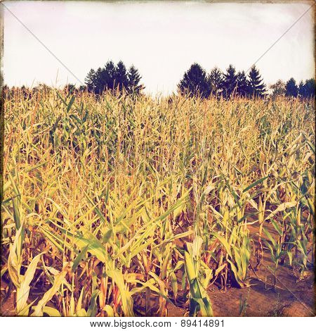 Instagram filtered image of a corn field