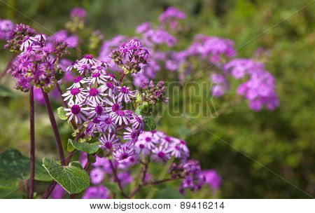 Pericallis Webbii, Commonly Known As May Flower