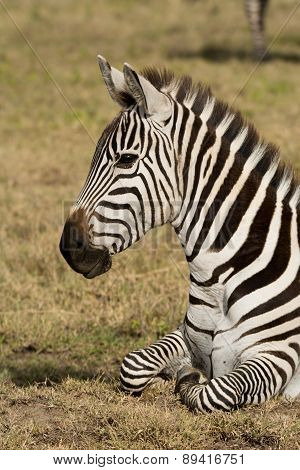 Portrait of a Zebra, Ngorongoro Crater, Tanzania