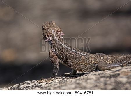 Female Rock Agama looking for prey, Tanzania