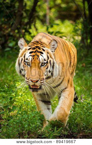 Closeup Portrait Of A Beautiful Sumatran Tiger