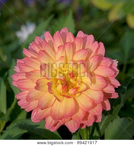 Dahlias blooming flower.