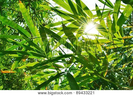 beautiful green leaf bamboo background and sun light