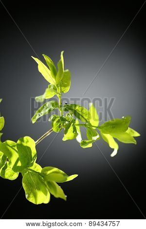 Young foliage on twig, on grey background