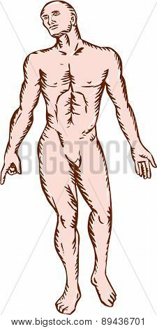 Gross Anatomy Male Standing Woodcut