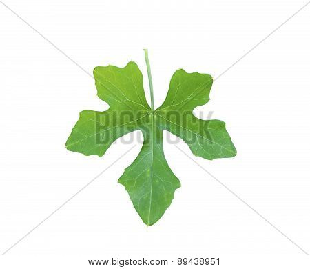 Ivy Gourd Leaf Isolated