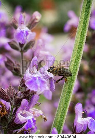 Bee Pollinating Violet Flower