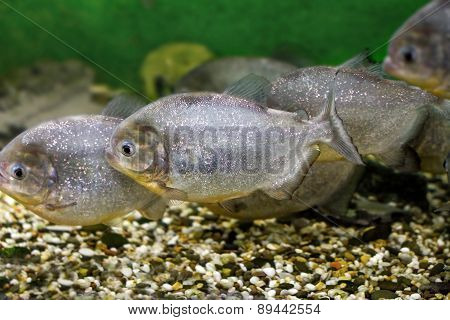 Beautiful Aquarium Fish Piranhas