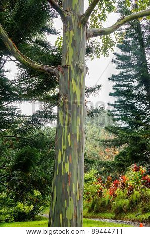 Rainbow Eucalyptus Trees, Maui, Hawaii, USA