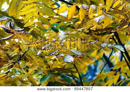 Yellow Chestnut Leaves In Autumn Gold