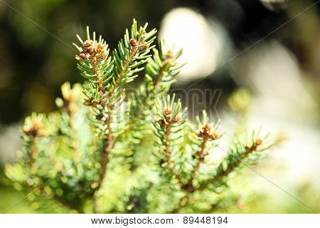Beautiful fir-tree, outdoors
