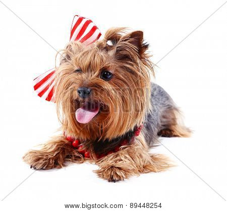 Cute Yorkshire terrier dog isolated on white