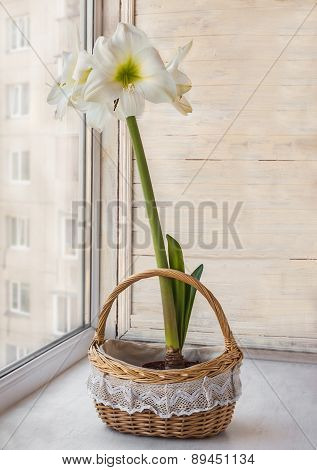 White Hippeastrum In  Basket