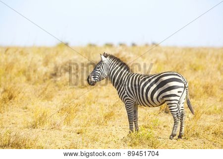 Zebra standing at the great plains of Serengeti