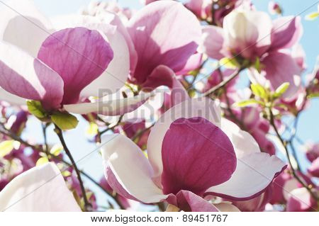 White And Purple Magnolia Flowers Against Blurred Blue Sky