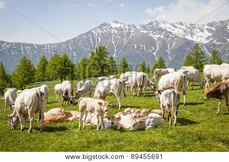 Free Calf On Italian Alps