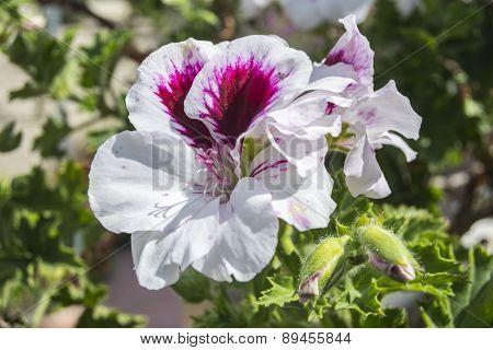Geranium Flowers, Pelargonium