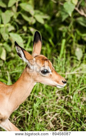 Portrait Of A Baby Impala