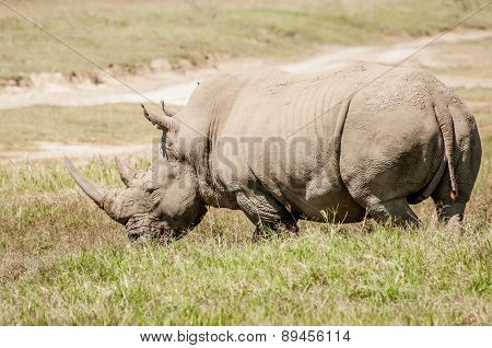 White Rhino In Grass