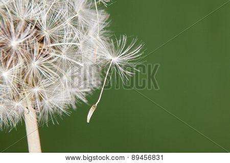Dandelion Seed Hanging On