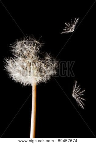 Dandelion Seeds Umbrellas