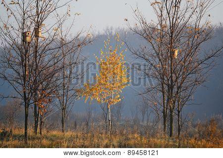 One Birch