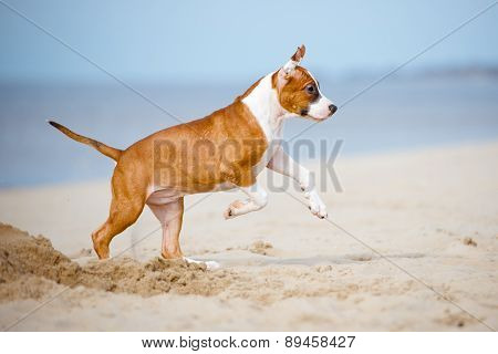red american staffordshire terrier puppy playing on a beach