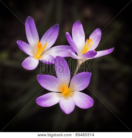 Blooming violet Crocus at springtime