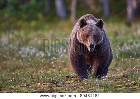 Brown Bear Frontally